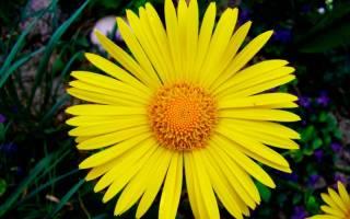 Желтые ромашки — многолетние цветы