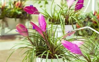 Цветок тилландсия — уход в домашних условиях