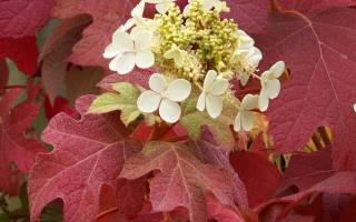 Гортензия дуболистная — зимостойкие сорта, посадка и уход
