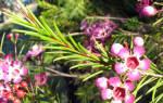 Хамелациум — уход в домашних условиях и цветение