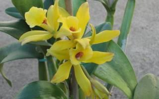 Орхидея ваниль: основные виды и варианты по уходу в домашних условиях