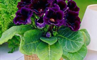Глоксиния — уход в домашних условиях