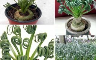 Альбука спиральная — выращивание и размножение