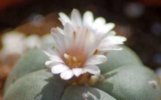 Виды кактусов: варианты растений без колючек или с листьями