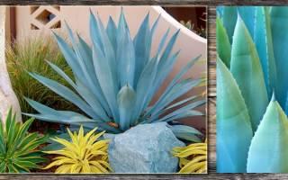 Голубая агава — что это такое