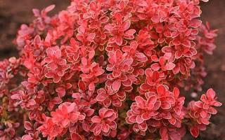 Барбарис Ред Рокет — описание и выращивание
