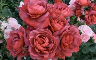 Роза Хот шоколад (Hot chocolate) — описание сортового цветка