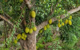 Хлебное дерево — где растет и почему так называется