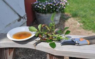Размножение розы черенками в домашних условиях