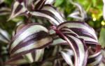 Традесканция — виды ампельных растений Андерсон, Зебрина и другие