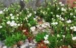 Камнеломка Арендса — уход и выращивание дома