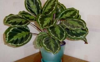Калатея — болезни и вредители растения