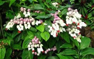 Клеродендрум лиана — разновидности и сорта