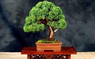 Бонсай из можжевельника — как вырастить из семян