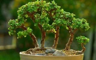 Бонсай из денежного дерева своими руками