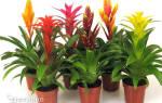 Гузмания — уход за цветком в домашних условиях