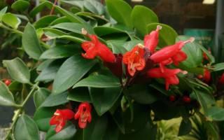 Эсхинантус — уход в домашних условиях и размножение