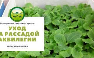 Аквилегия — выращивание из семян