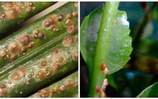 Щитовка на комнатных растениях — как бороться в домашних условиях