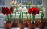 Амариллис — уход в домашних условиях после цветения