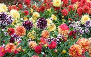 Чем подкормить георгины для роста и цветения