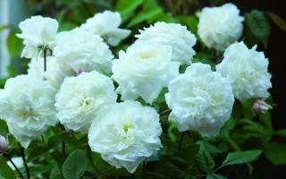 Нужно ли закапывать прививку у розы при посадке