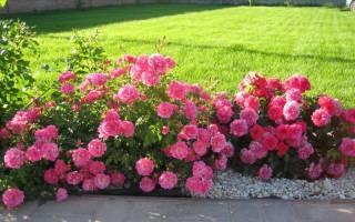 На каком расстоянии сажать розы друг от друга