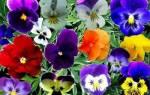 Анютины глазки — посадка семенами в открытый грунт