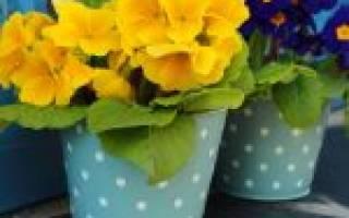 Примула когда цветет: период созревания и изменения в уходе за цветком