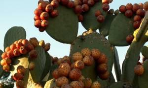 Плод кактуса: описание видов и их польза и вред
