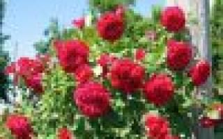 Роза Квадра (Quadra)