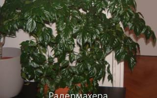 Радермахера — уход в домашних условиях