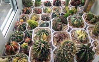 Грунт для кактусов: основные требования к почве и варианты в домашних условиях