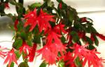 Цветок Хатиора — уход в домашних условиях