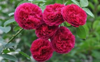 Роза Фальстаф (Falstaff) — описание сорта