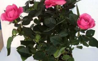 Комнатная роза — как ухаживать, размножение