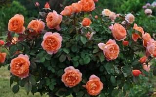 Роза Вестерленд (Westerland) — описание полуплетистого сорта