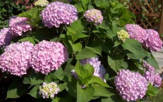 Гортензия Бесконечное Лето — посадка и уход за растением