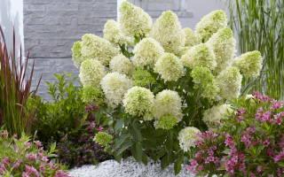 Гортензия Скайфолл (Hydrangea Paniculata Skyfall)