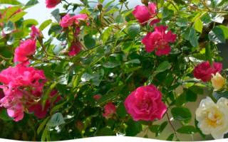 Как укрыть розы на зиму в саду чтобы сохранить