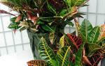 Цветок кротон — размножение дома, какие способы