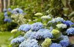 Гортензия белая — какие бывают садовые гортензии