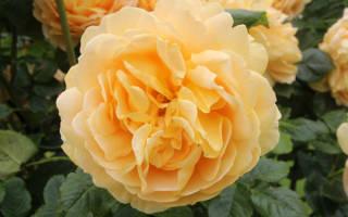 Роза Голден Селебрейшен (Golden Celebration) — описание сорта