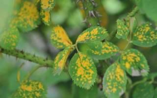 Ржавчина на розах — почему появляется и чем лечить