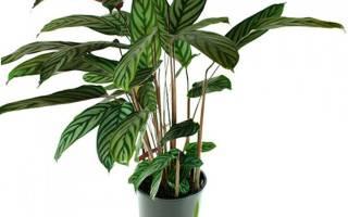 Цветок ктенанта — уход в домашних условиях