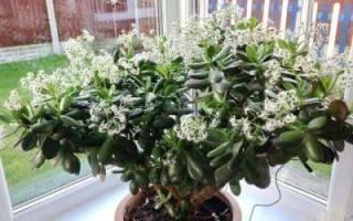 Как цветет денежное дерево — что нужно делать для этого