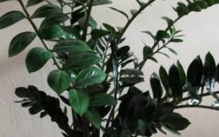 Замиокулькас — уход в домашних условиях