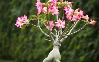 Цветок адениум — уход в домашних условиях