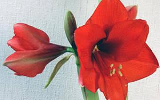Как вырастить амариллис садовый в открытом грунте