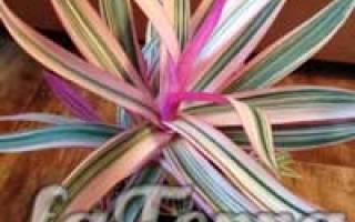 Цветок рео — уход в домашних условиях